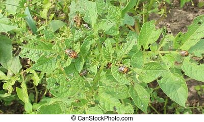 larvae of colorado beetles on the leaves of a potato -...