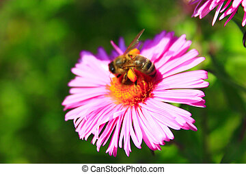 bee on the flower - bee sits on the aster and collects...