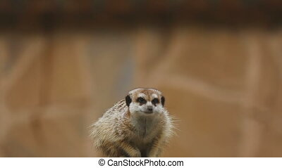 Meerkat looking out for danger and ready to signal an alarm