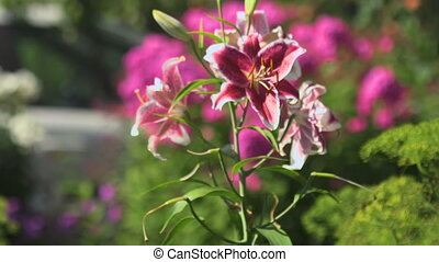 Flowers pink lilies swaying in the wind