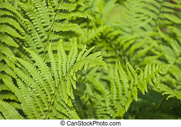 Green leaves of fern plant - Closeup of green leaves of fern...