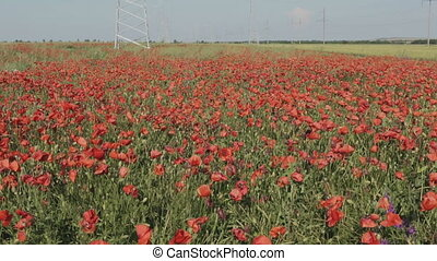 New high voltage power lines on poppy field in Crimea. - New...