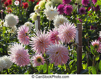 Dahlia garden sunset Back light - Sunset in dahlia garden...