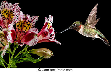 Hummingbird feeding from pink flower - Hummingbird with...