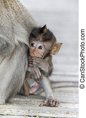 Macaque monkey - A macaque monkey in the arms of his mother...