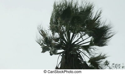 palm tree in a windstorm - a palm tree in strong winds