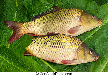 Two fished carps on the green leaves - Two freshly fished...