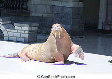 Walrus (Raised Flipper) - The mustached and long-tusked...