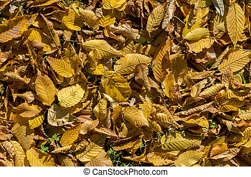 Autumn yellow foilage - Detail of yellow leaves on the...