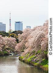 Chidorigafuchi, parque, Durante, el, primavera, estación