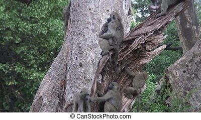 Wild Baboon Monkey in Africa - Botswana wild Africa animal...