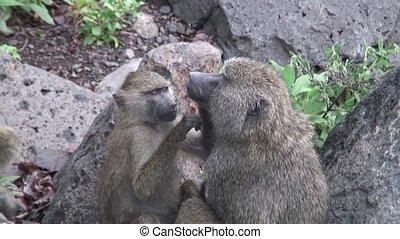 Wild Baboon Monkey in Africa - Botswana wild Africa animal...