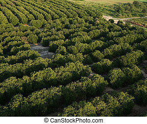 Florida Agriculture - Rows of Orange Groves