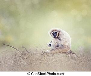 White-handed gibbon - Portrait of White-handed...