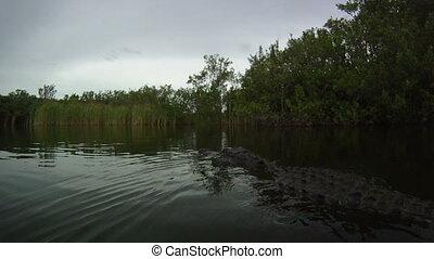 Alligator Underwater - alligator underwater in the florida...