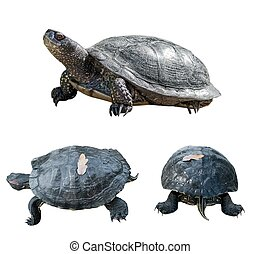 Set of turtles turtles from different sides isolated over...