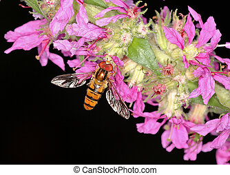 Hover fly sitting on purple loosestrife