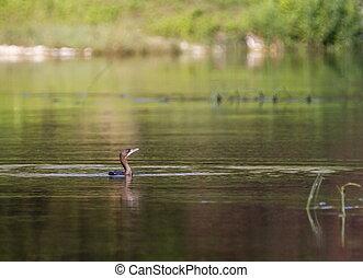 friedlich,  Cormorant, Vogel, schwimmender