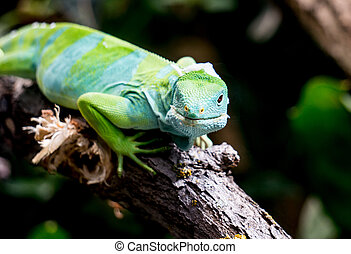 Fiji Banned Iguana sitting on a Branch