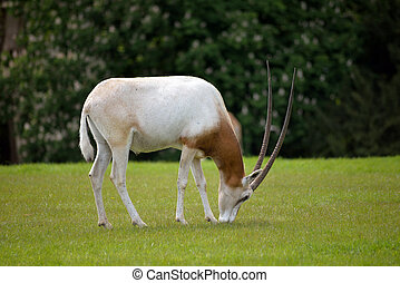 Scimitar-horned Oryx in fota wildlife park near cobh county...