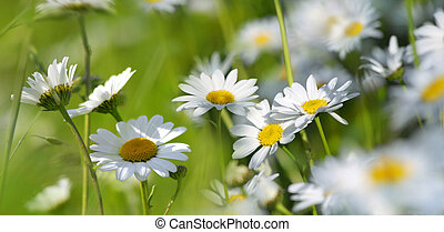 marguerites on a summer meadow - beautiful marguerites...