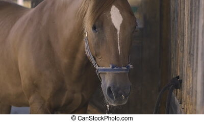 close-up of a brown horse in slow motion - close-up of a...
