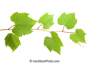 vine leaves - backdrop of grape or vine leaves isolated on...