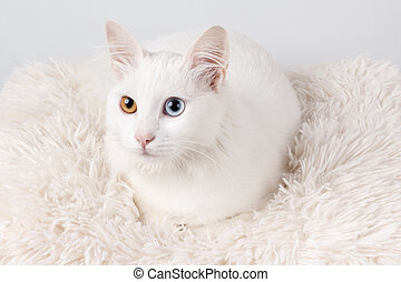 White cat with different colored eyes. White odd-eyed cat,...