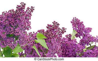 Purple lilac postcard - The branches of a purple lilac...