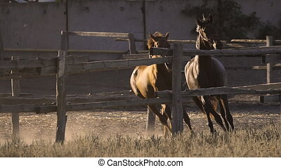 two horses galloping on paddock in slow motion - two horses...