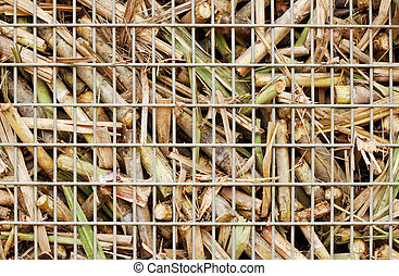 Closeup of sugar cane harvest