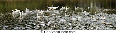 white geese on the pond - A flock of white geese on the pond