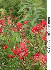 Indian Paintbrush Flowers - Closeup of red Indian Paintbrush...