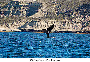 the beautiful whales in the Valdes Peninsula in...