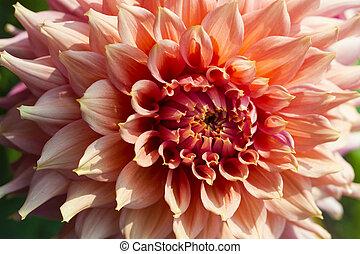 bonito, Cor-de-rosa, dahlias