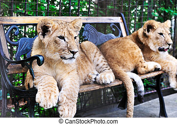 two lion cubs  laying on the bench