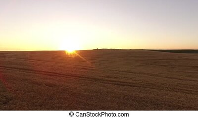 AERIAL: Flight over the wheat field in sunset in 4k UltraHD...