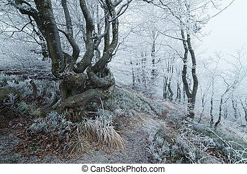Hoarfrost and fog in a mountain forest - Forest landscape...