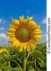 Sunflower fiels - Sunflower against blue sky