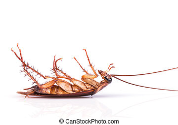 Cockroach isolated on a white background - Close up...