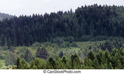 spruce forest landscape