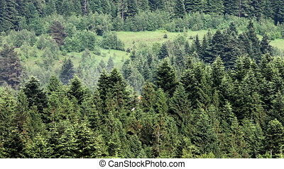 spruce forest landscape - wide view of spruce Carpathian...