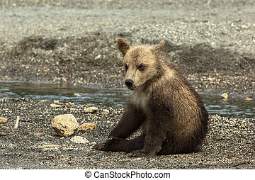 Brown bear cubs on the shore of Kurile Lake Southern...