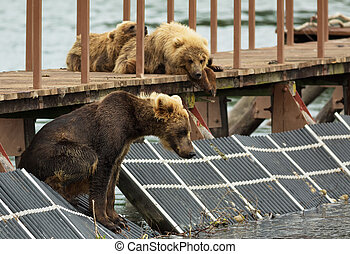 Young brown bear waiting prey on fence to account for fish...