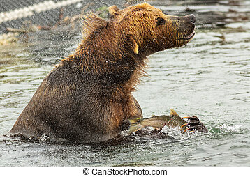 Brown bear with prey in its claws shakes off water on Kurile...
