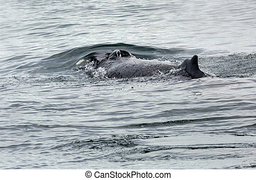 Fin and nostrils on the back of humpback whale in Pacific...