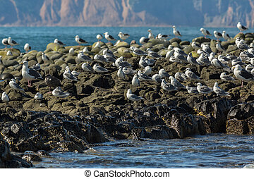 Sea Gull communicate in a flock on the rocks in Pacific...