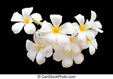 Tropical flowers, Plumeria isolated on black. Saved with clipping path