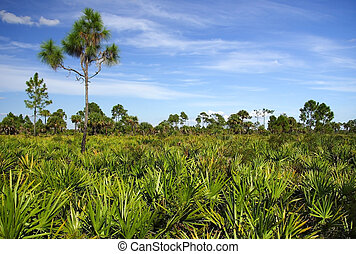 Saw Palmetto and Pines - Scenic landscape in the Florida...
