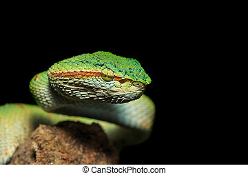Green snake or Green pit viper in nature of Thailand,...